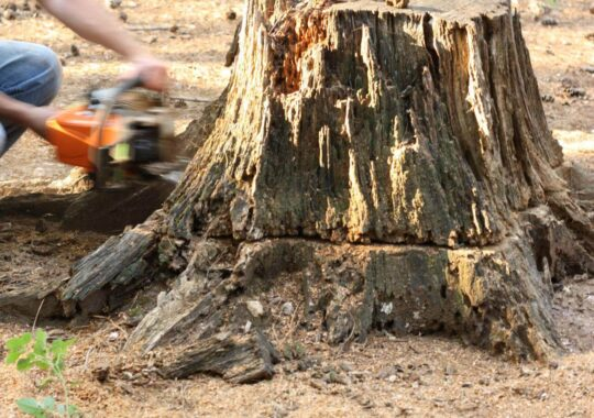 Stump Removal-Doral FL Tree Trimming and Stump Grinding Services-We Offer Tree Trimming Services, Tree Removal, Tree Pruning, Tree Cutting, Residential and Commercial Tree Trimming Services, Storm Damage, Emergency Tree Removal, Land Clearing, Tree Companies, Tree Care Service, Stump Grinding, and we're the Best Tree Trimming Company Near You Guaranteed!